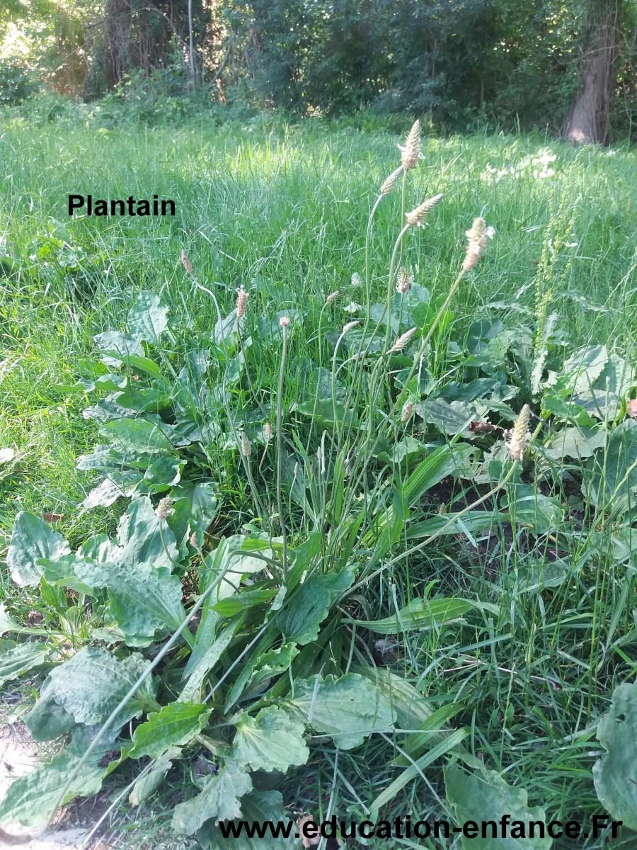 Le plantain, des caractéristiques, vertus et des bienfaits surprenants pour la santé